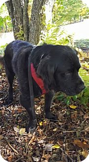 Newfoundland Mix Dog for adoption in East Randolph, Vermont - Percy