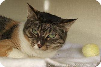Domestic Shorthair Cat for adoption in Fort Collins, Colorado - Greta Garbo