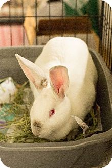 American for adoption in Fall River, Massachusetts - COOKIE