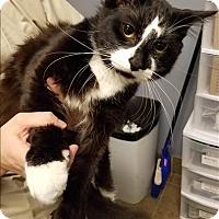 Adopt A Pet :: Mittens - Duluth, MN