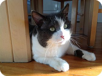 Domestic Shorthair Cat for adoption in Montreal, Quebec - Shylo