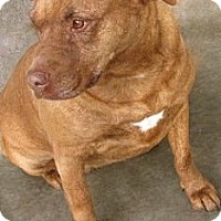 Labrador Retriever/American Pit Bull Terrier Mix Dog for adoption in Tahlequah, Oklahoma - Bettina