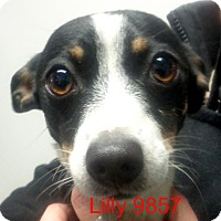 Adopt A Pet :: Lilly - baltimore, MD
