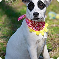 Adopt A Pet :: Black Eyed Suzi - Wilmington, DE