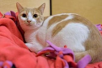 Domestic Shorthair Cat for adoption in San Jose, California - GAP-Daisy