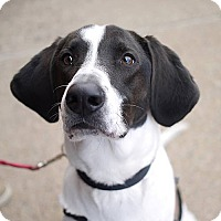 Adopt A Pet :: Pilot *Needs Foster* - Fairfax, VA
