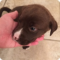 Adopt A Pet :: Diesel - Huntsville, AL