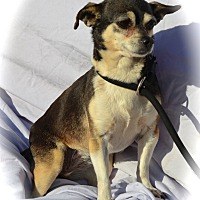 Chihuahua Mix Dog for adoption in Blanchard, Oklahoma - Angel