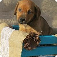 Adopt A Pet :: Darius - Joliet, IL
