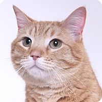 Adopt A Pet :: Tang - Chicago, IL