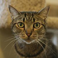 Adopt A Pet :: Mousaffa - Canoga Park, CA