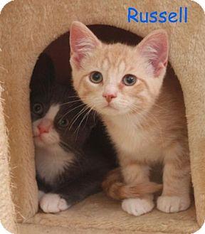 Domestic Shorthair Kitten for adoption in Elkhorn, Wisconsin - Ricky