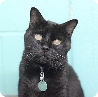 Domestic Shorthair Cat for adoption in Bradenton, Florida - Hunter