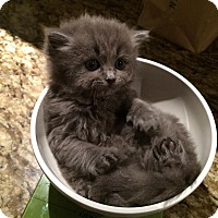 Adopt A Pet :: Abby - Pierrefonds, QC