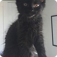 Domestic Shorthair Kitten for adoption in Anacortes, Washington - Daisy