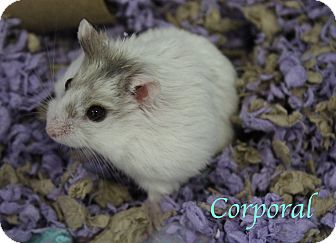 Hamster for adoption in Bradenton, Florida - Corporal