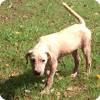 Golden Retriever/Labrador Retriever Mix Puppy for adoption in HARRISBURG, Pennsylvania - LUCY