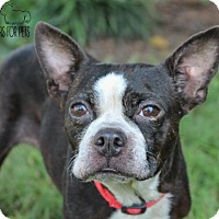 Boston Terrier Dog for adoption in Troy, Illinois - Sophie Fostered (Teresa)