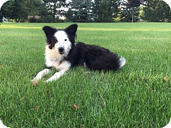 Border Collie Dog for adoption in Midwest (WI, IL, MN), Wisconsin - Lily