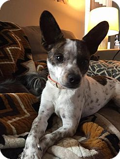 Boston Terrier Mix Dog for adoption in Bellbrook, Ohio - Dillon