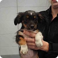 Adopt A Pet :: PIXIE LOVE - Pearland, TX