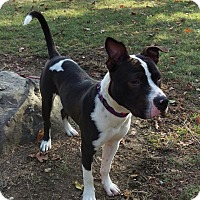 Pit Bull Terrier Mix Puppy for adoption in Maybrook, New York - Tyson