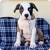 Adopt A Pet :: Uno - Los Angeles, CA