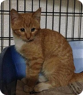 Domestic Shorthair Cat for adoption in Dallas, Georgia - 16-10-2934 Greer