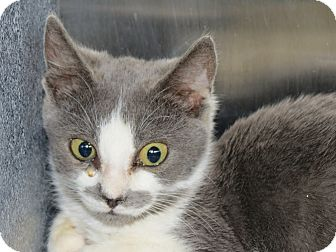 Domestic Shorthair Kitten for adoption in Henderson, North Carolina - Elsa