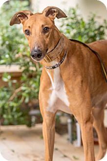 Greyhound Dog for adoption in Walnut Creek, California - American