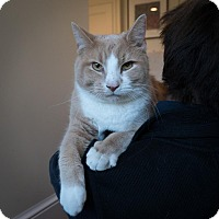 Domestic Shorthair Cat for adoption in Fairfax, Virginia - Norman (and Emily Rose)
