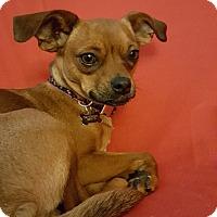 Adopt A Pet :: Pumpkin - Santa Clara, CA