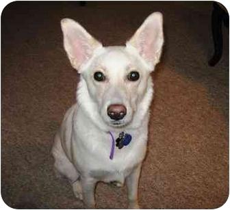 Australian Shepherd/German Shepherd Dog Mix Dog for adoption in Phoenix, Arizona - Izzy