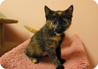 Domestic Shorthair Kitten for adoption in Lunenburg, Massachusetts - Teapot #2