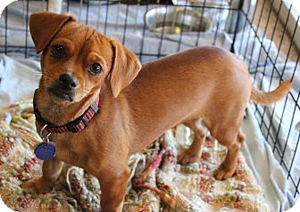 Dachshund/Chihuahua Mix Dog for adoption in Phoenix, Arizona - Mary Ann
