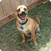 Chihuahua Mix Dog for adoption in San Antonio, Texas - Brownie