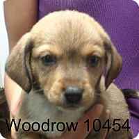 Adopt A Pet :: Woodrow - baltimore, MD