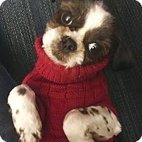 Adopt A Pet :: PUMPKIN - Eden Prairie, MN