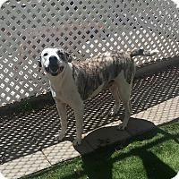 Adopt A Pet :: Rita - san antonio, TX