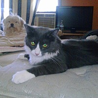 Domestic Mediumhair Cat for adoption in Lancaster, California - Milton