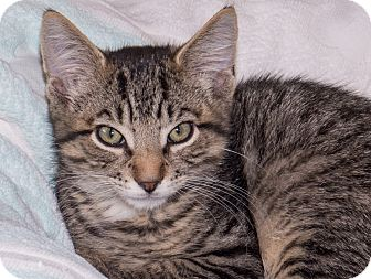 Domestic Shorthair Kitten for adoption in Elmwood Park, New Jersey - Herman