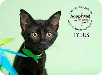 Domestic Shorthair Kitten for adoption in Houston, Texas - .Tyrus.