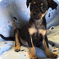 Adopt A Pet :: Caviar - Los Angeles, CA