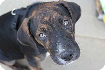 Mountain Cur Mix Puppy for adoption in Harrisonburg, Virginia - Spencer