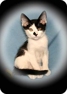 Domestic Shorthair Kitten for adoption in Bradenton, Florida - Scotch Tape