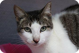 Domestic Shorthair Cat for adoption in Sarasota, Florida - June