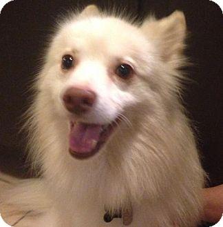 Finnish Spitz Mix Dog for adoption in Asheville, North Carolina - Oakley