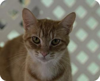 Domestic Shorthair Cat for adoption in Norman, Oklahoma - Serenity
