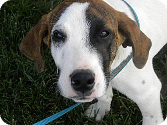 Hound (Unknown Type) Mix Dog for adoption in Germantown, Ohio - Mr. Rogers