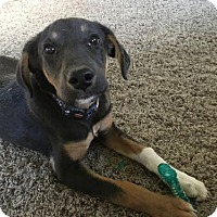 Australian Shepherd/Black and Tan Coonhound Mix Dog for adoption in Lander, Wyoming - Martin